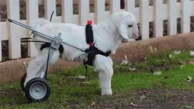 goats goat gifs