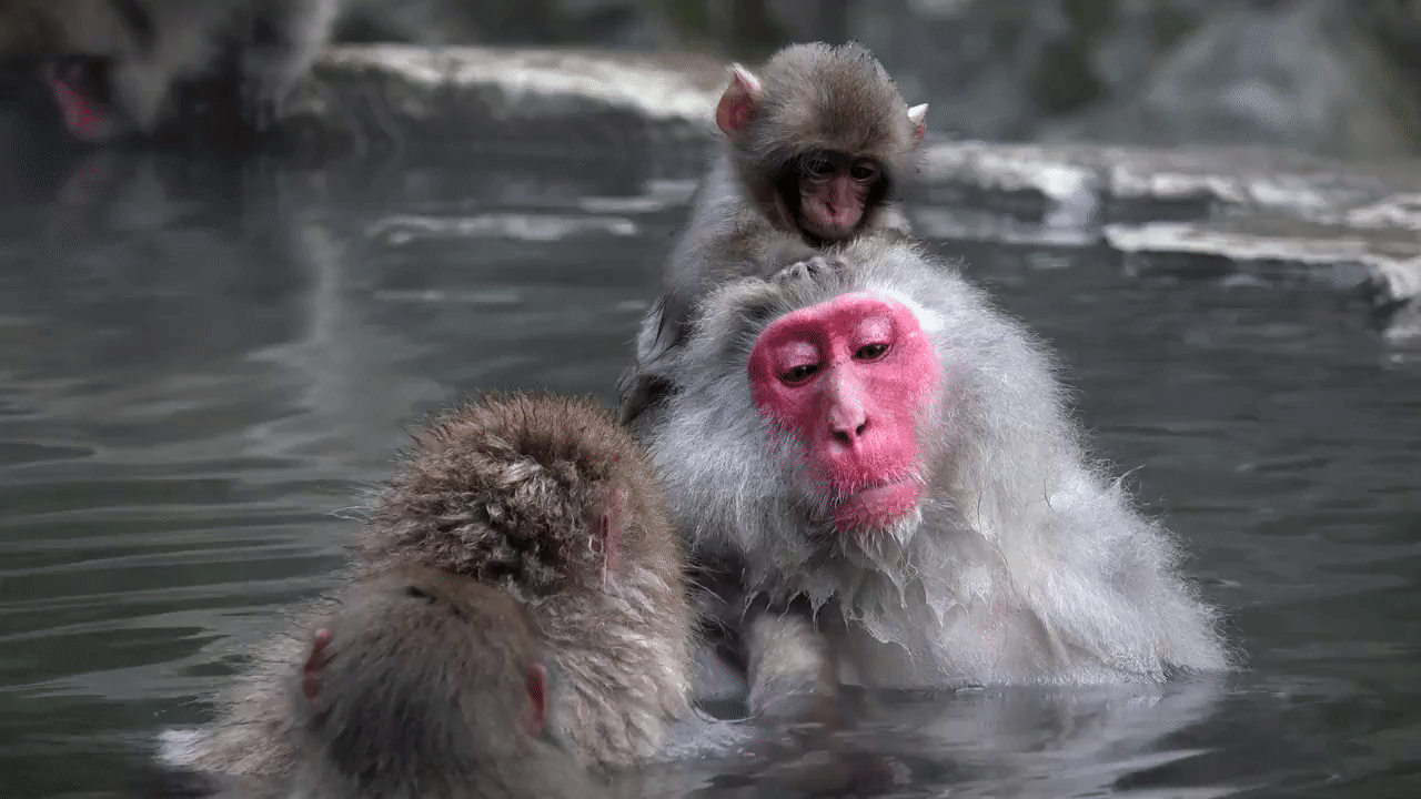 spring macaques