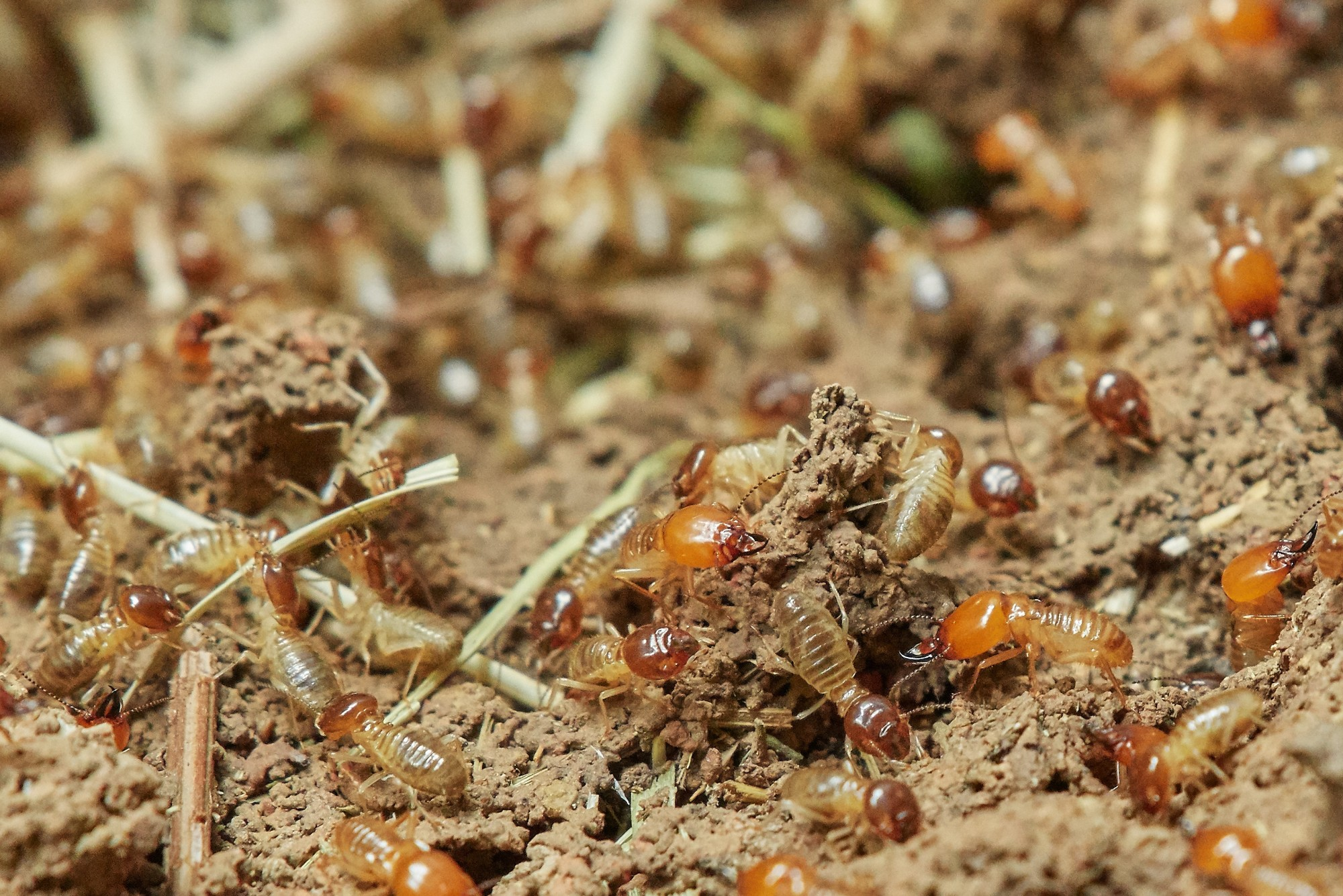 Flying Ants vs Flying Termites