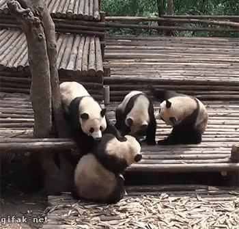 cool zoo pandas