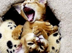 kitten yawn cat